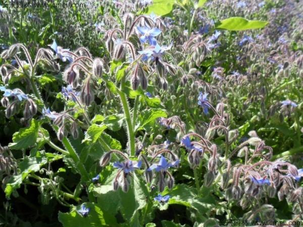 琉璃苣种子发芽出苗开花图片