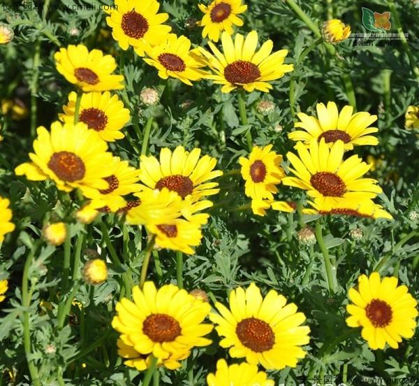 茼蒿菊种子发芽出苗开花图片