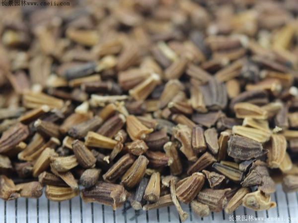 茼蒿菊种子图片