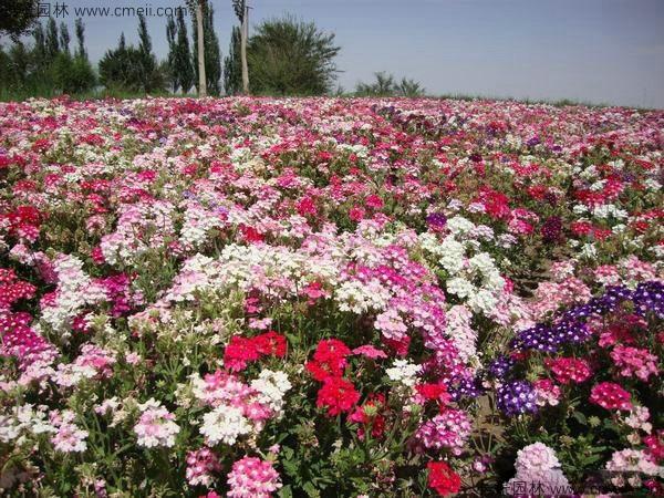 美国石竹种子发芽出苗开花图片