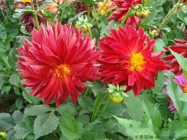 大丽花种子发芽出苗开花图片