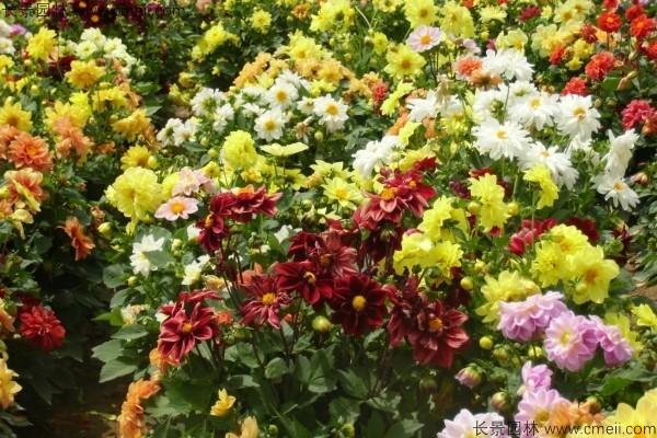 湖北适合种植大丽花吗