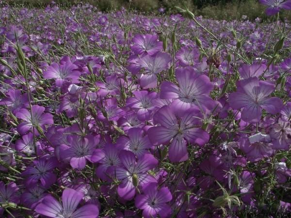 麦仙翁种子发芽出苗开花图片