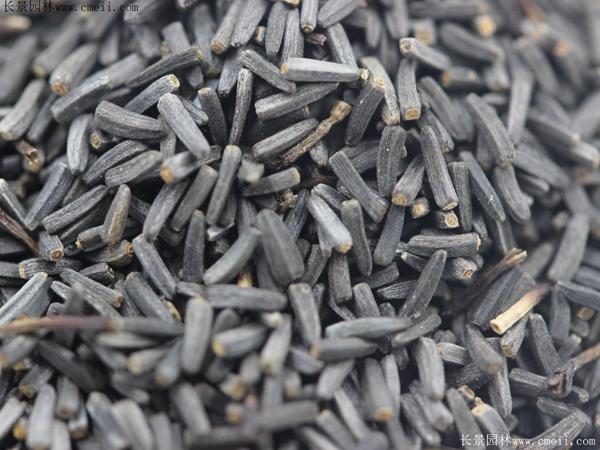 黑心菊种子图片