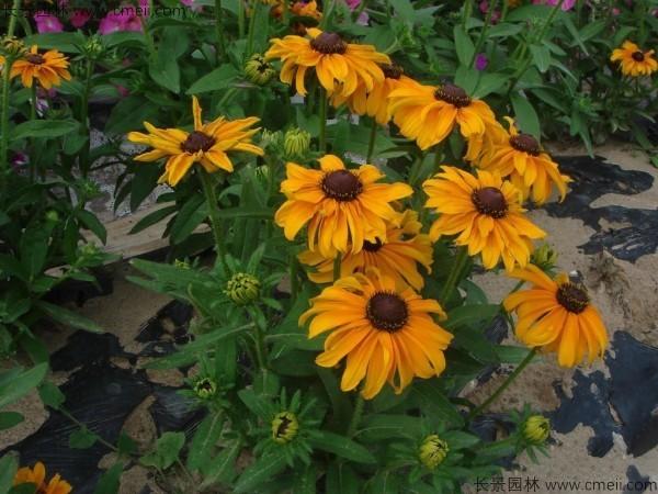 黑心菊种子发芽出苗开花图片