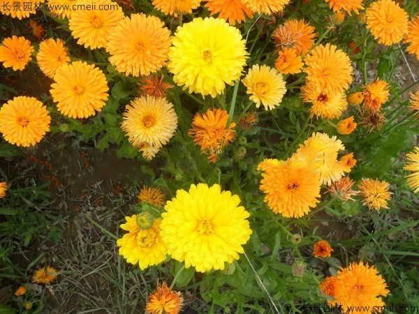 金盏菊种子发芽出苗开花图片