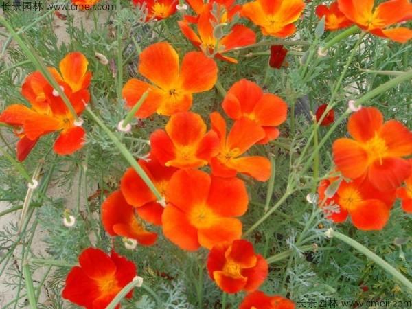花菱草种子发芽出苗开花图片