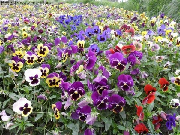 花卉三色旋种子多少钱一斤