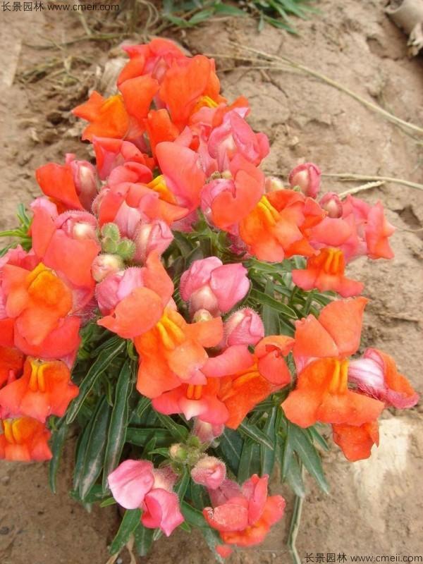 金鱼草种子发芽出苗开花图片