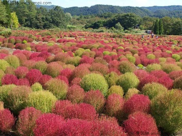 红叶地肤种子发芽出苗图片