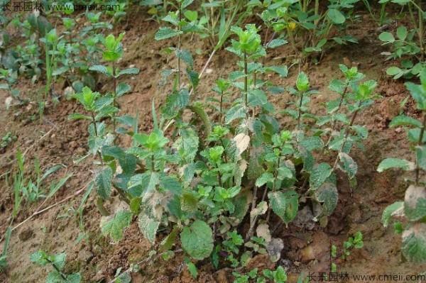 薄荷种子发芽出苗图片