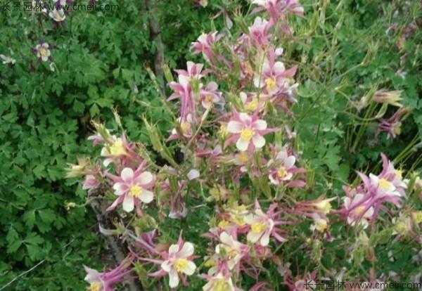 小花耧斗菜种子发芽出苗开花图片