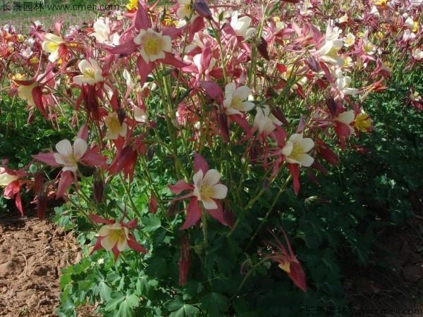 耧斗菜种子发芽出苗开花图片