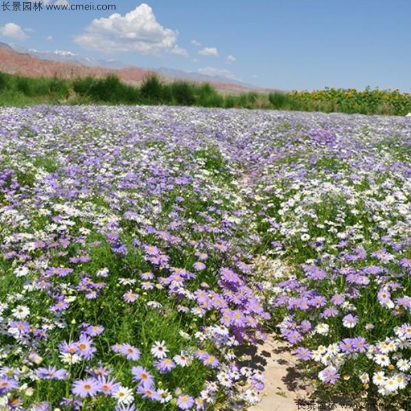 五色菊种子发芽出苗开花图片