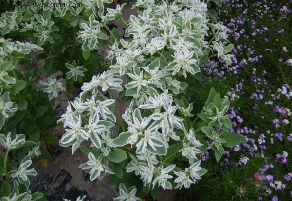 银边翠种子发芽出苗图片