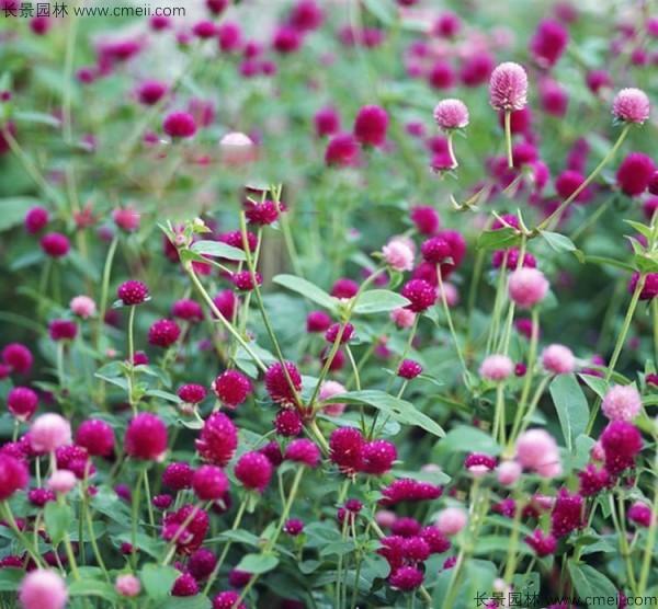 千日紫种子发芽出苗开花图片