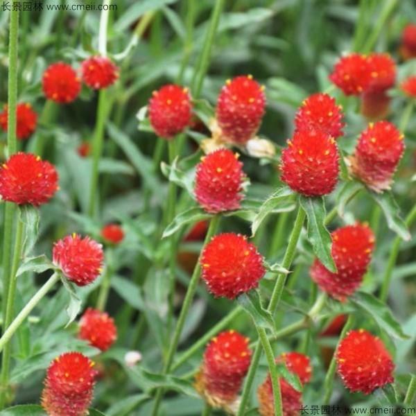 千日红花瓣有几种花色