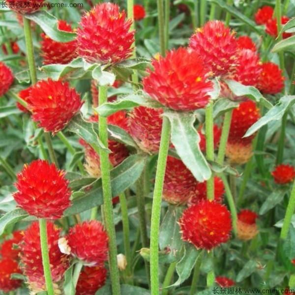 千日红籽多少钱一公斤