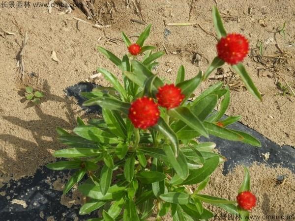 千日红种子发芽出苗开花图片