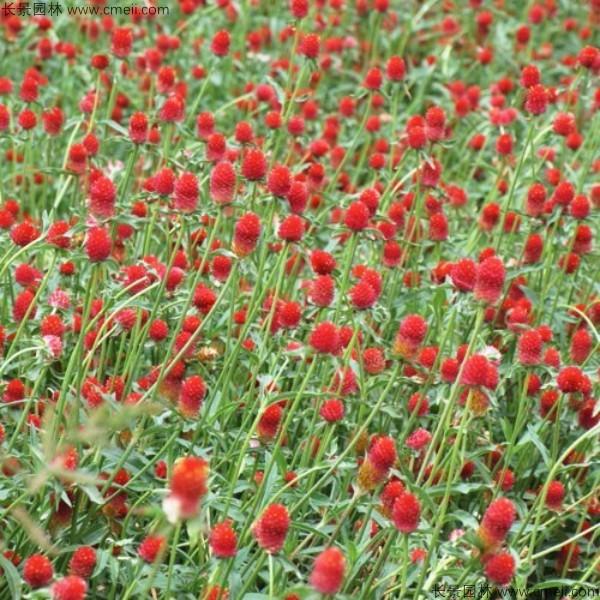 黑龙江适合种植千日红吗