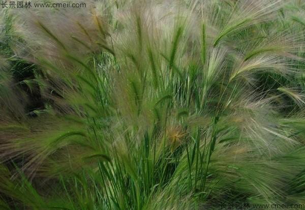 狗尾草种子发芽出苗图片