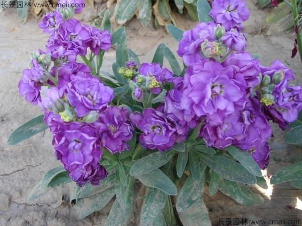 紫罗兰种子发芽出苗开花图片
