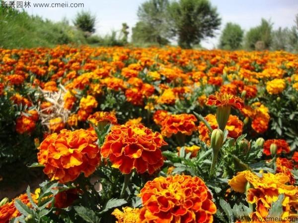 万寿菊种子发芽出苗开花图片
