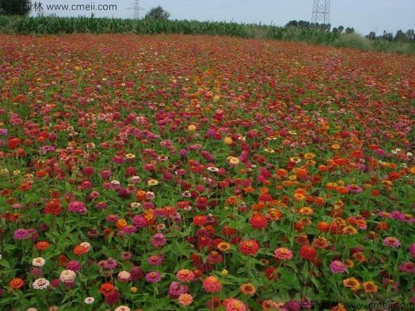 百日草种子发芽出苗开花图片
