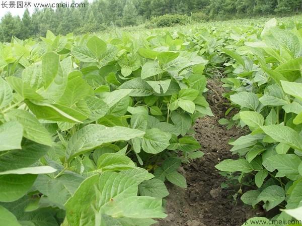 黑豆种子发芽出苗图片