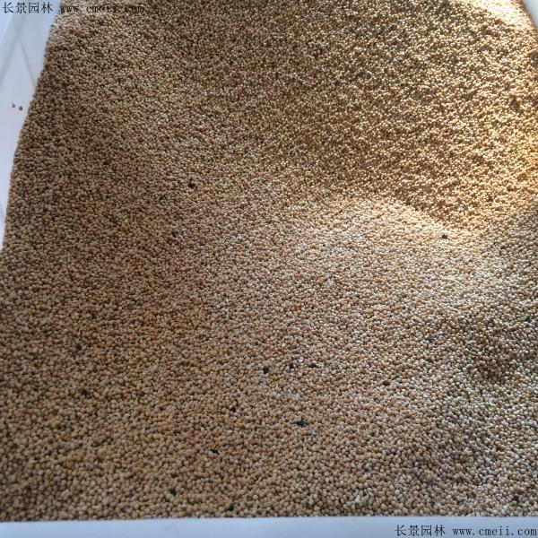 小米种子图片