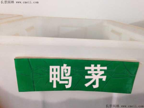 鸭茅种子图片