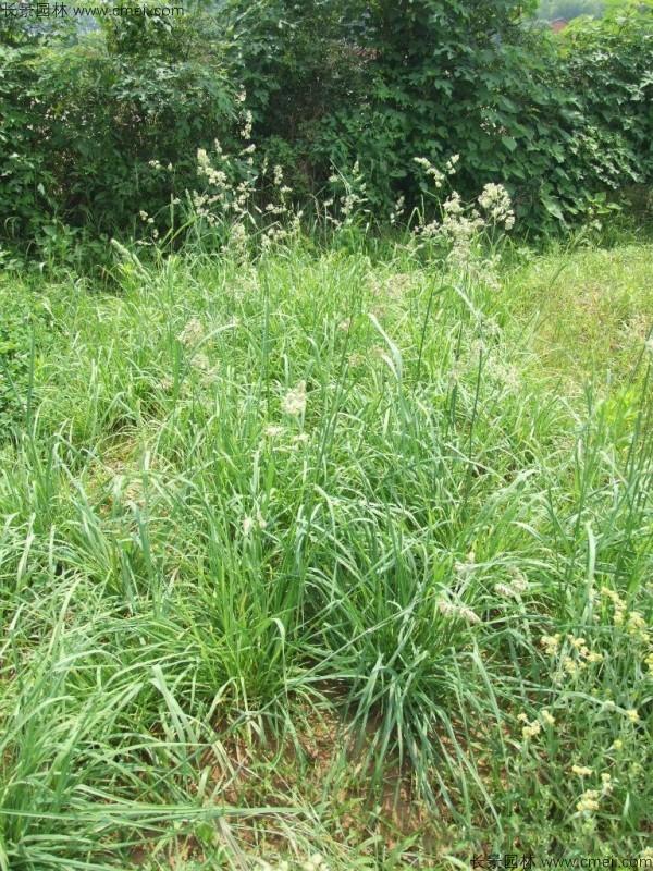 鸭茅种子发芽出苗图片