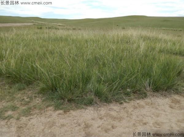 芨芨草种子发芽出苗图片