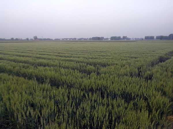 黑小麦种子发芽出苗图片