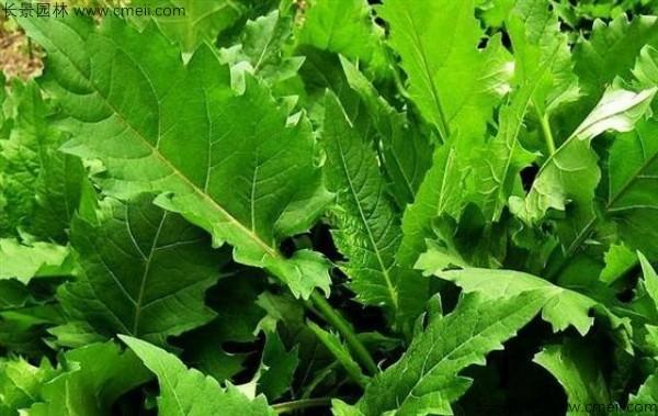 串叶松香草种子图片