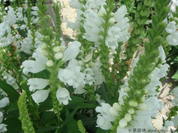 假龙头种子发芽出苗开花图片
