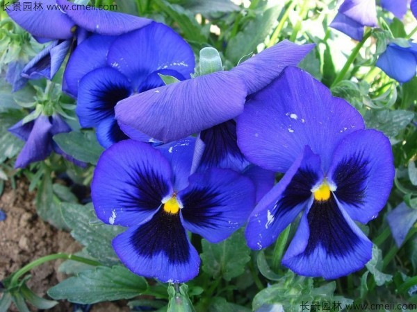 三色堇种子发芽出苗开花图片