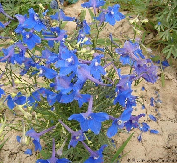 千鸟草种子发芽出苗开花图片