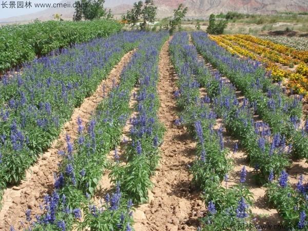 千鸟草种子一公斤撒多少平方