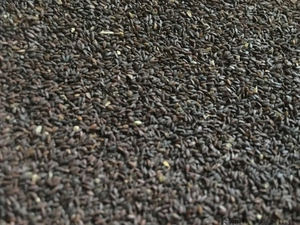 神香草种子图片