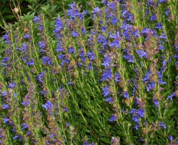 神香草种子发芽出苗开花图片