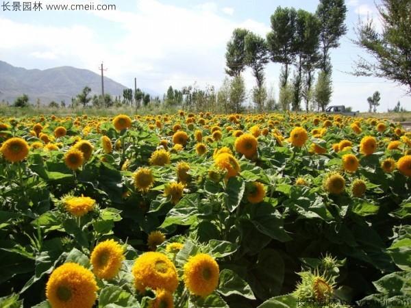 观赏向日葵种子发芽出苗开花图片