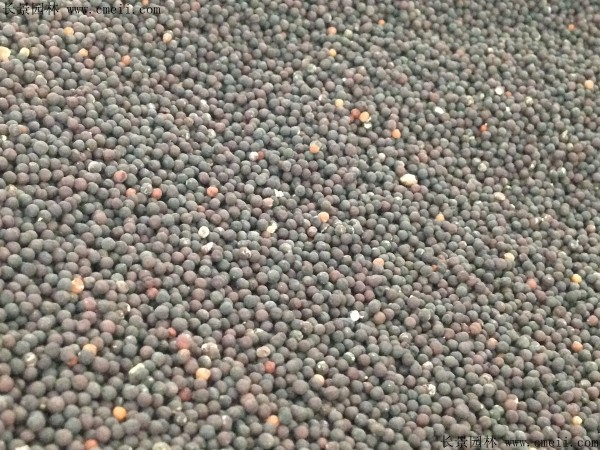 霞草种子图片