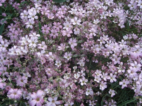 霞草种子发芽出苗开花图片