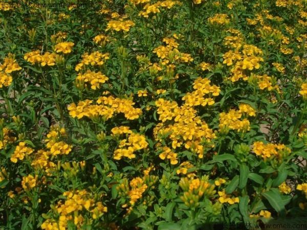 四川适合种植七里黄吗