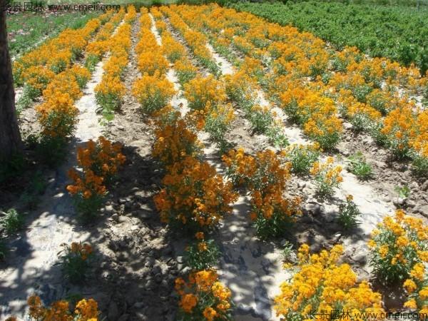 七里黄种子发芽出苗开花图片