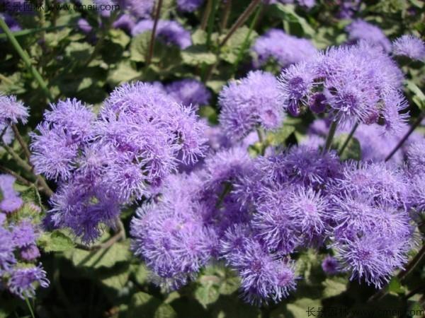 藿香蓟种子发芽出苗开花图片