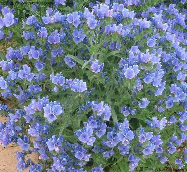 蓝蓟种子发芽出苗开花图片
