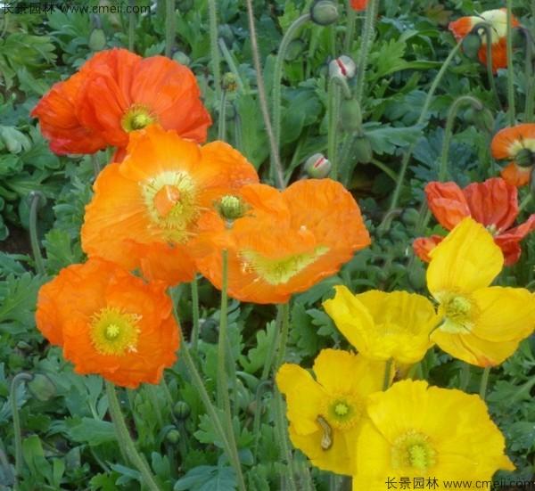 冰岛虞美人种子发芽出苗开花图片