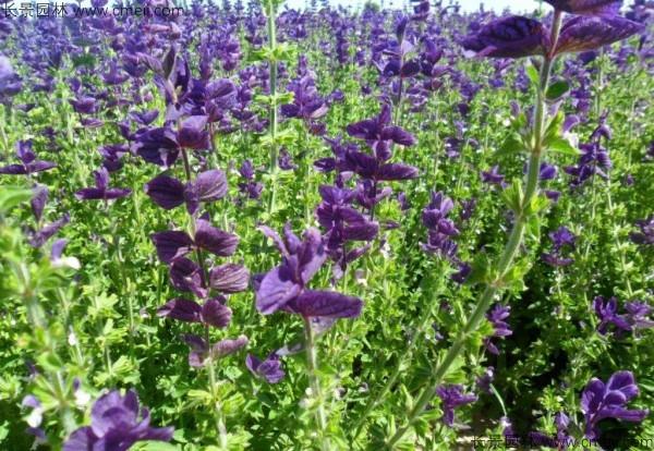 蓝花鼠尾草种子发芽出苗开花图片